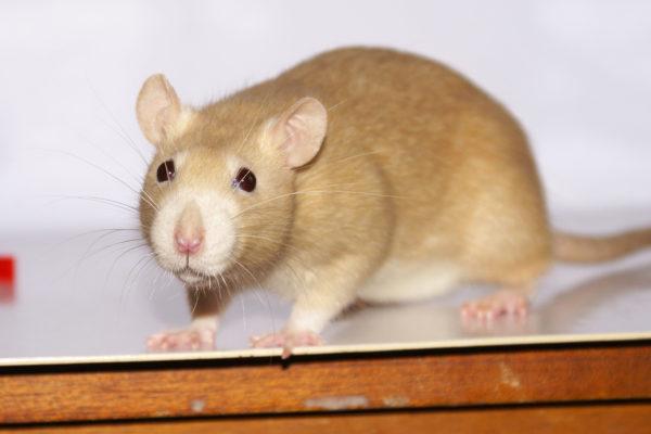 Крыса породы дамбо окрас топаз