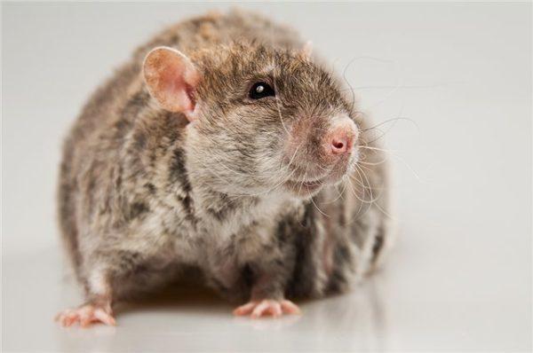 Крыса дамбо трехцветная