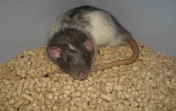 Крыса лежит на наполнителе