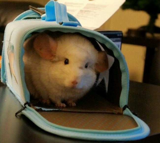 Шиншилла в сумке-переноске