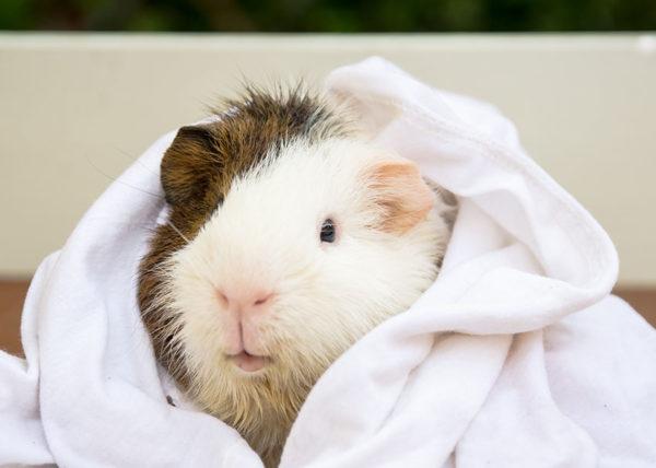 Морская свинка закуталась в полотенце