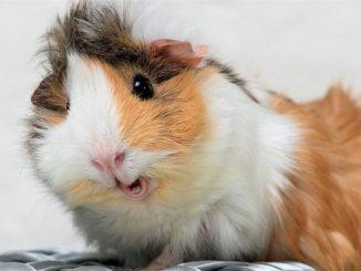 Безумно счастливая морская свинка