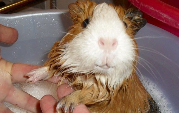 Морскую свинку моют