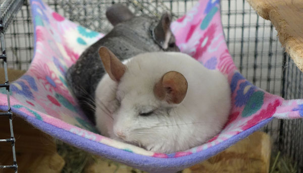 Шиншиллы спят в гамаке