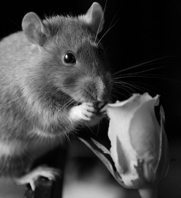 Крыса и роза