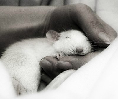 Крыса спит на руках у человека