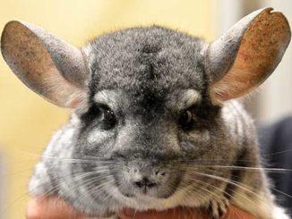 Милая шиншилла с большими ушками
