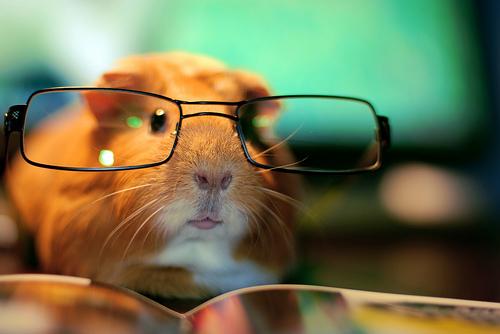 Морская свинка в очках