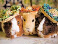 Милые морские свинки в шляпках