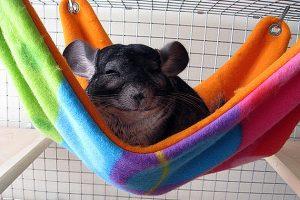 Шиншилле нравится спать в гамаке