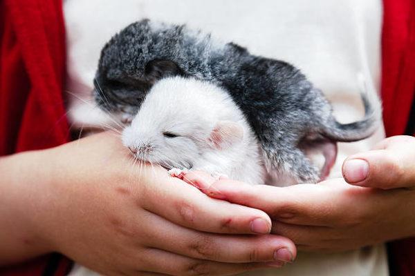 Новорожденные щенки шиншиллы 5 дней