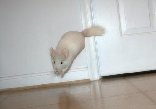 Шиншилла бегает