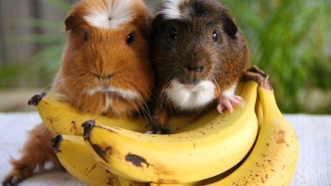 Морские свинки и бананы