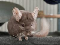 Шиншилла с пятнистыми ушами