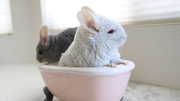 Шиншиллы сидят в ванночке