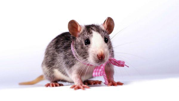 Крыса девочка с бантом