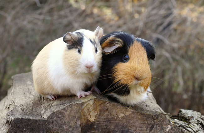Красивое фото двух морских свинок