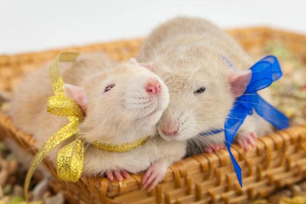 Две крыски с бантиком