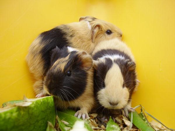 Три мимишные морские свинки