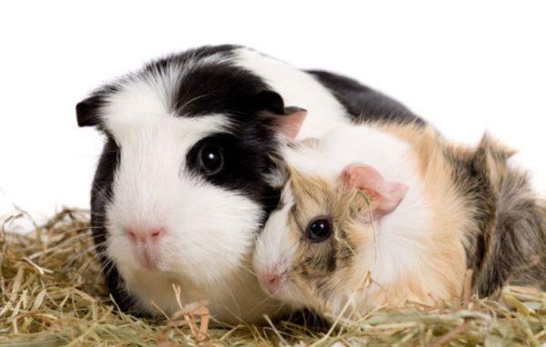 Мама морская свинка и ее детеныш