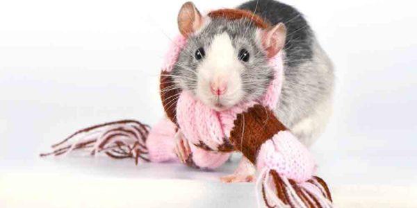 Крыса в шарфике