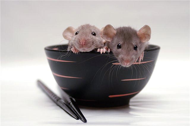 Два крысенка в тарелке