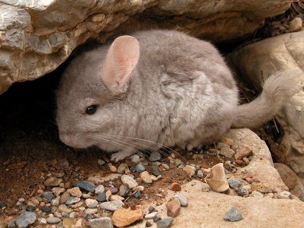 Шиншилла прячется в скале