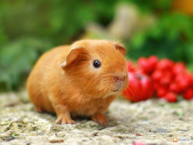 Маленькая рыжая морская свинка