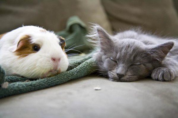 Морская свинка и кошка спят вместе