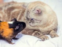 Красивое фото с морской свинкой и котом