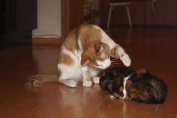 Кот и морская свинка играют