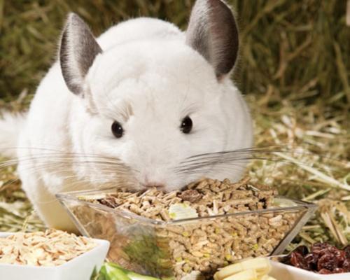 Шиншилла ест корм