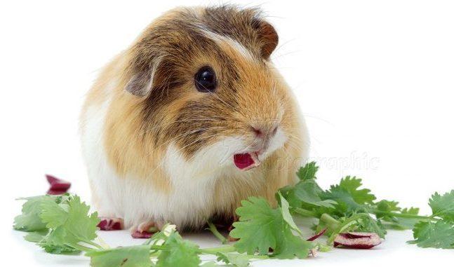 Морская свинка ест зелень