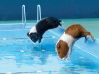 Морские свинки ныряют в бассейн