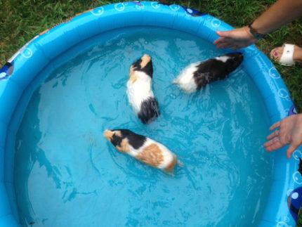 Морские свинки в бассейне