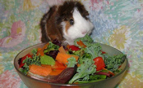 Морская свинка и тарелка с овощами