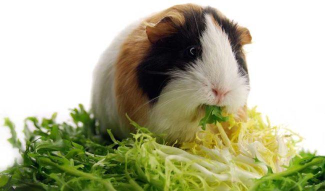 Морская свинка ест капусту