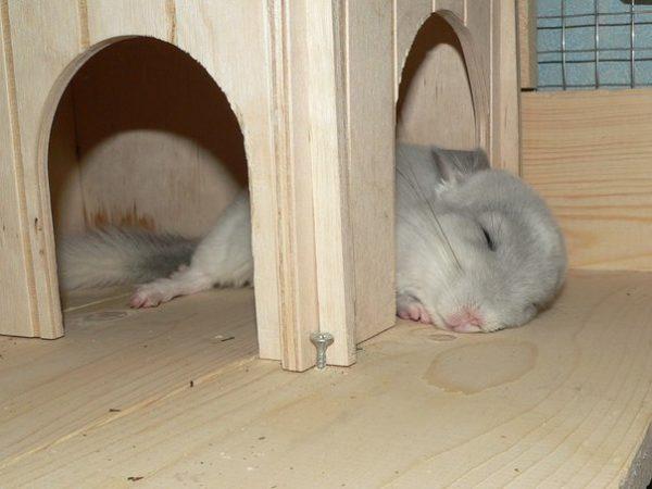 Шиншилла спит в доме