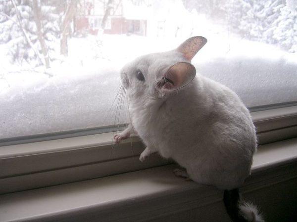 Шиншилла у окна