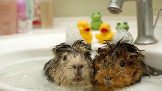 Две морские свинки моются