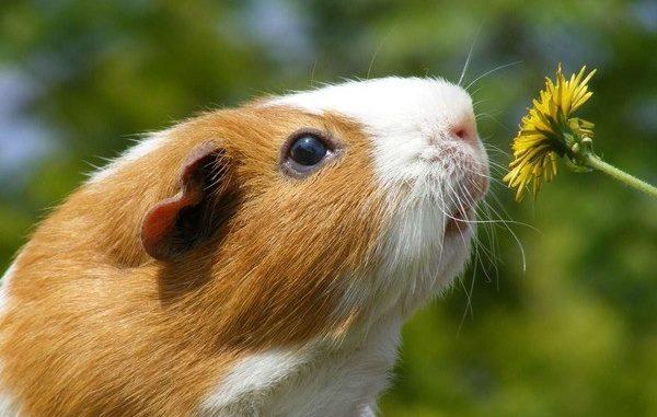 Морская свинка нюхает цветок