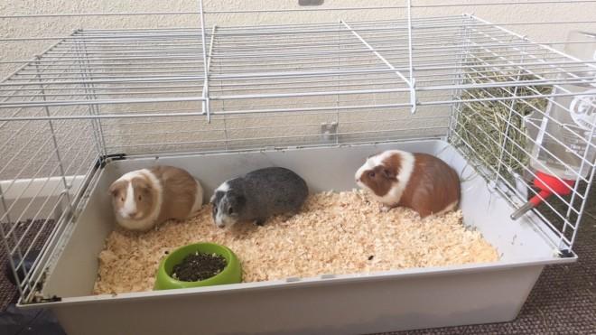 Три морские свинки в клетке