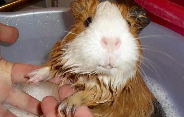 Морская свинка в раковине