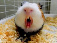 Морская свинка открыла рот