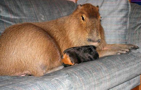 Капибара и морская свинка