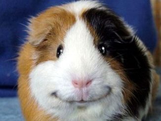 Морская свинка улыбается