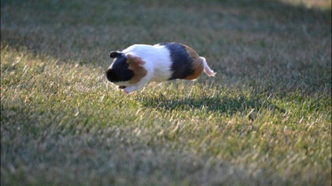 Морская свинка в полете