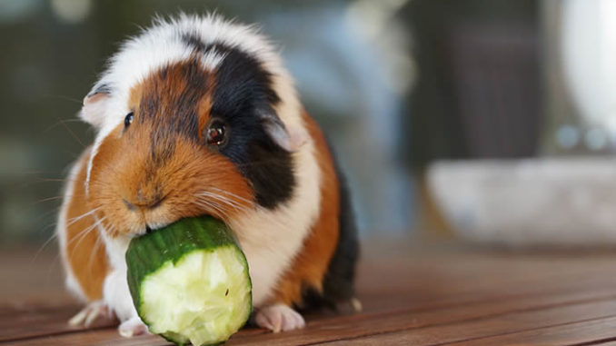 Свинка ест огурец