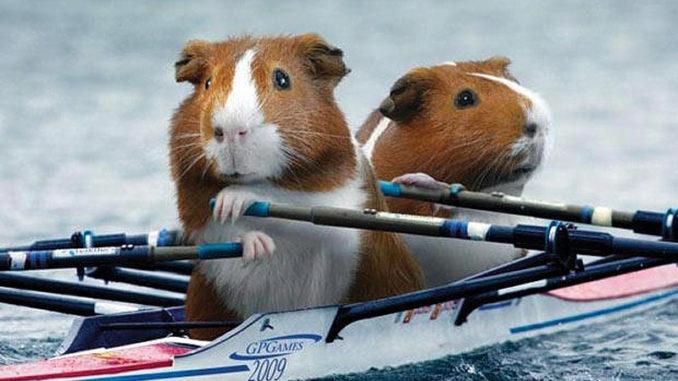 Морские свинки гребут