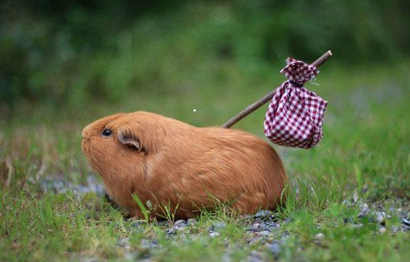 Морская свинка несет палку